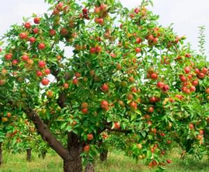 яблоки полезны для профилактики