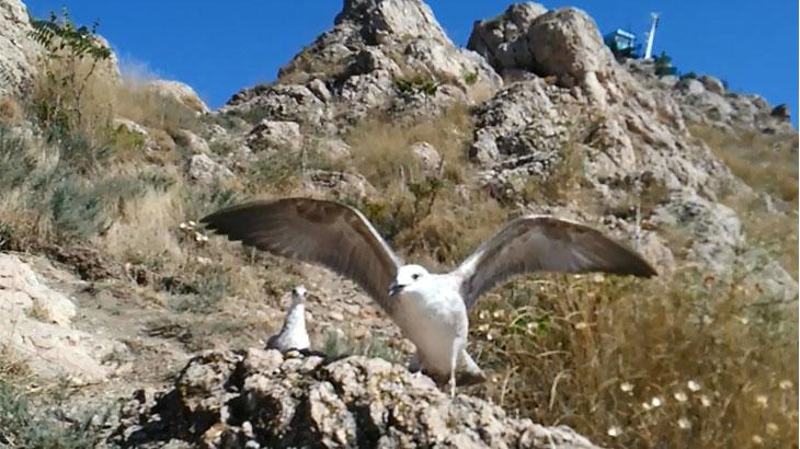 Черноморская чайка, мартын