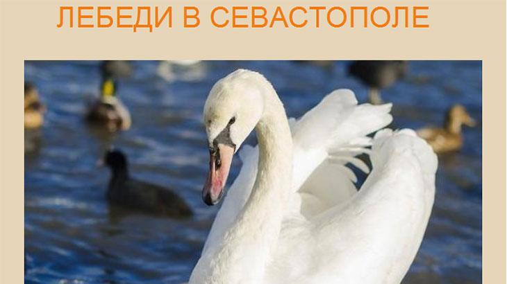 Лебеди в Севастополе
